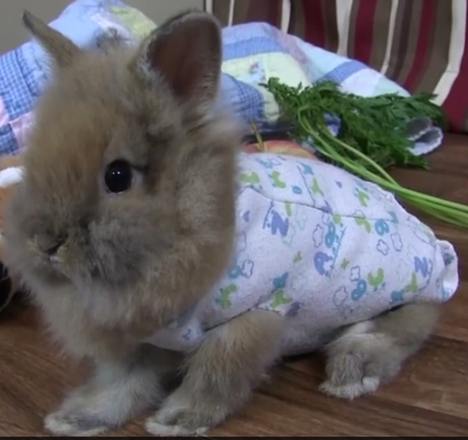 Baby bunny enjoys a Pajama day